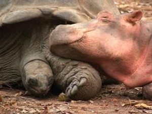 baby-hippo-tortoise-love-friends